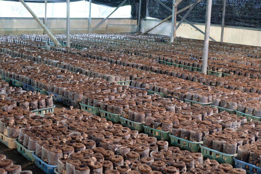 新社採香菇