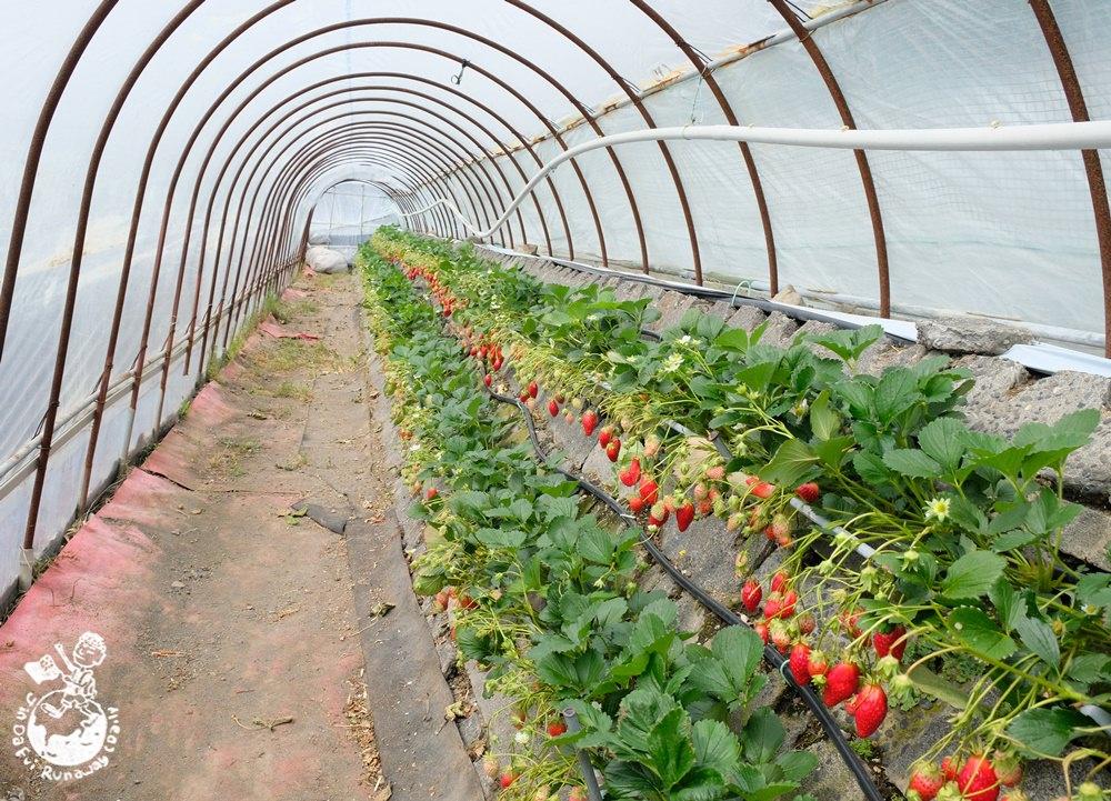 靜岡草莓園