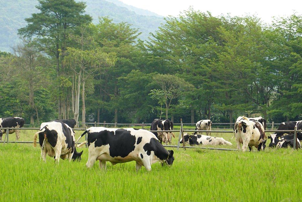 【瑞穗牧場】不用門票的花蓮親子景點,可以餵牛和大吃乳製品